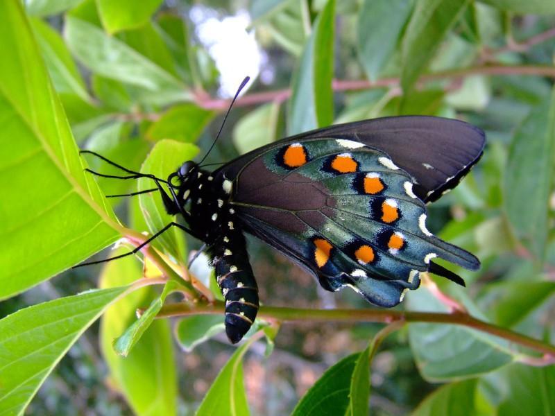 Ядовитые бабочки и их воздействие на человека