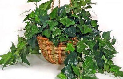Растение плющ вечнозеленый