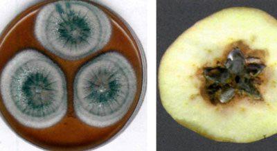 Патулин в яблоке