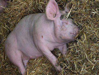 Состояние недомогания у свиньи