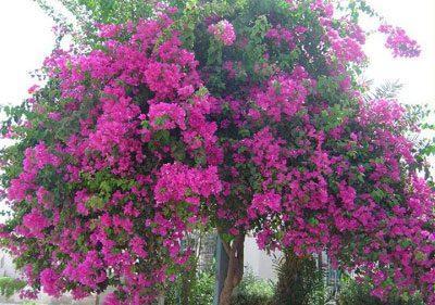 Дерево олеандр