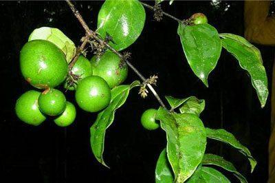 Плоды лианы кураре
