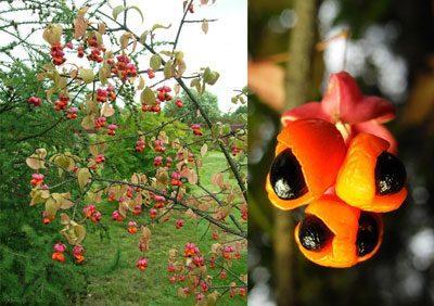 Плоды растения бересклет