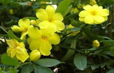Цветы кураре
