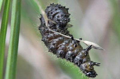 Личинка жука-листоеда