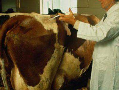 Укол корове