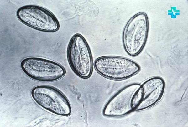 4-yajtsa_cherez_mikroskop.jpg