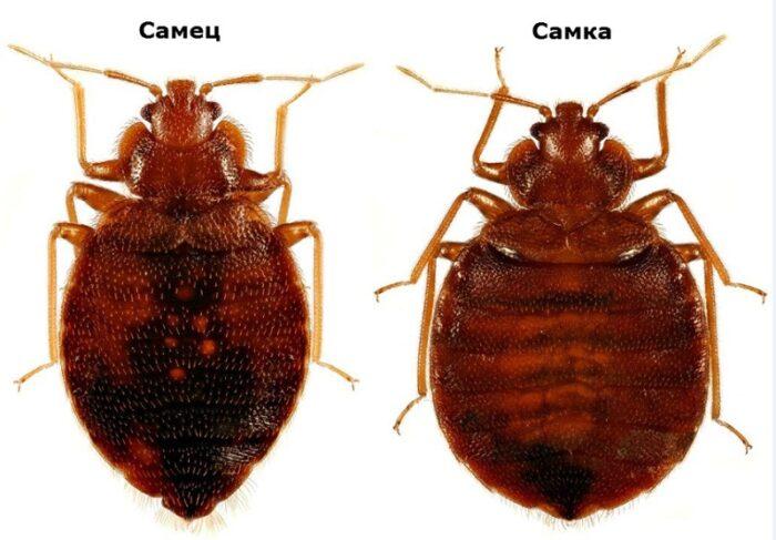 Cimicidae.jpg