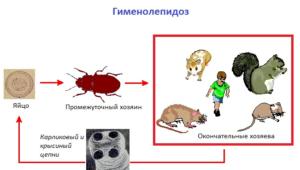 Гименолепидоз-карт-300x170.png