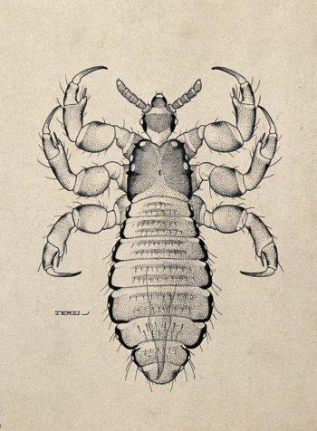 Pediculus-Humanus-Humanus2-e1583601427250.jpg