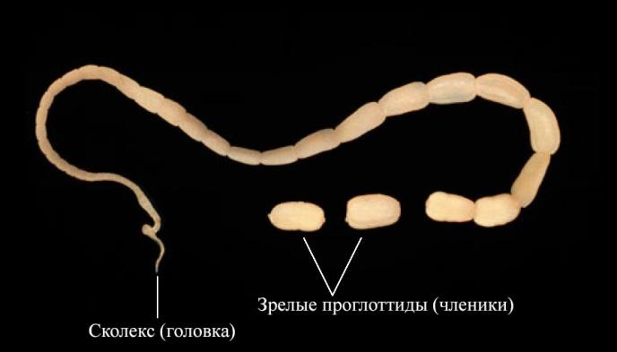 Проглоттиды-ленточных-червей.jpg