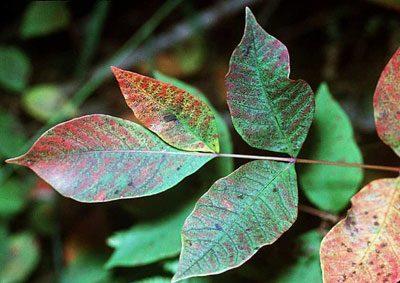 Листья сумаха