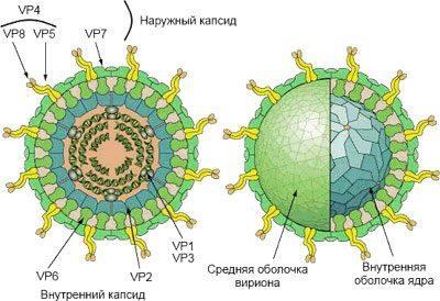 Строение возбудителя ротавируса