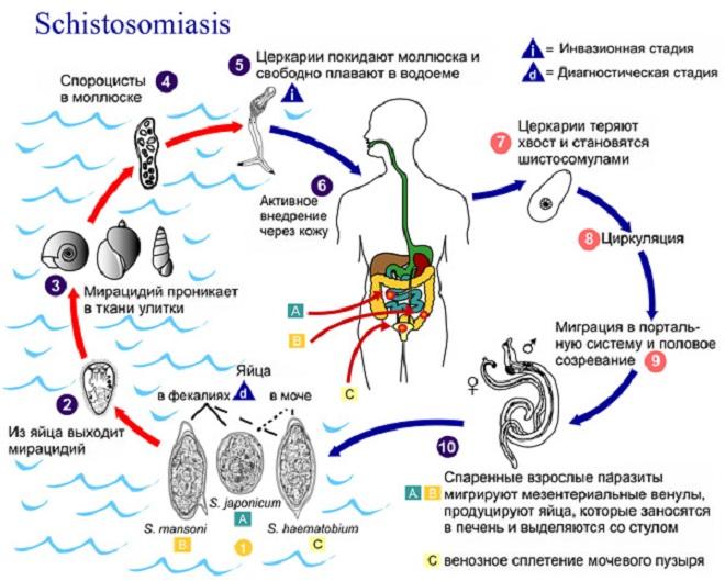 Schistosoma_cikl-razvitiya.jpg