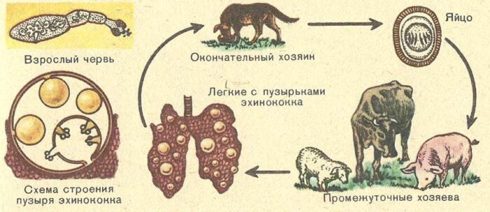 TSikl-ehinokokka.jpg