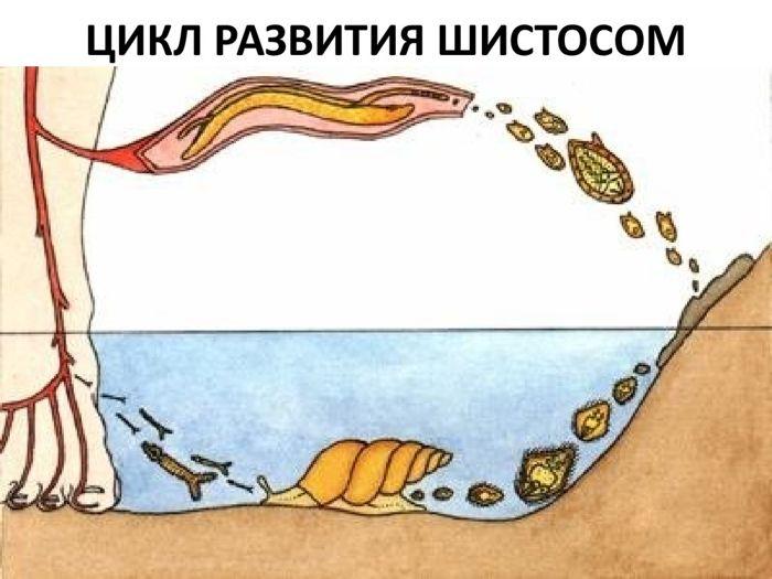 TSikl-razvitiya-shistosom.jpg