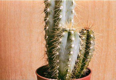 Растение трихоцереус ядовитый