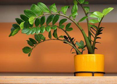Цветок замиокулькас
