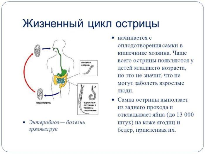 Zhiznennyj-cikl-ostricy.jpg