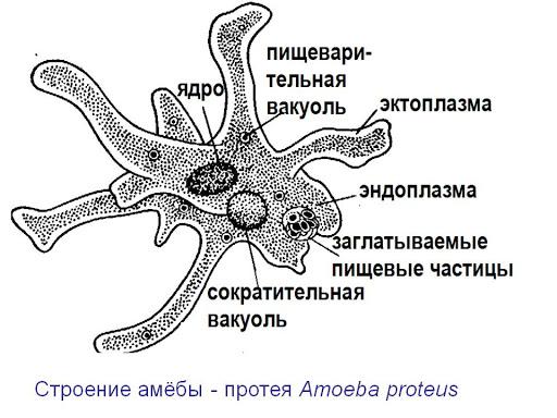 ameba-protej.jpg