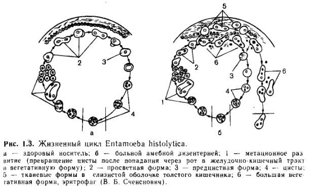 amebahystolitica1.jpg