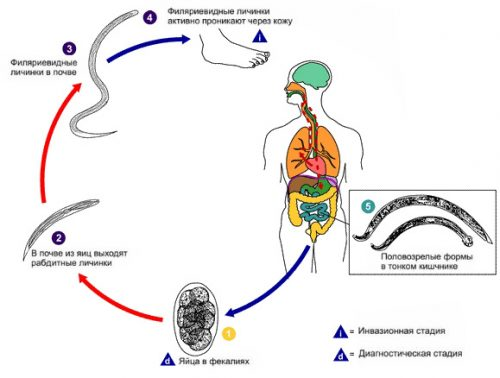 ancylostoma-duodenale-lifecycle-01-500x378.jpg