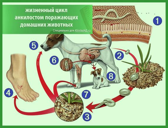 ankilostomoz-u-zhivotnyx-4.png