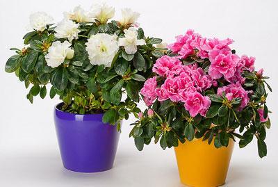 Азалия – красивоцветущее и опасное комнатное растение