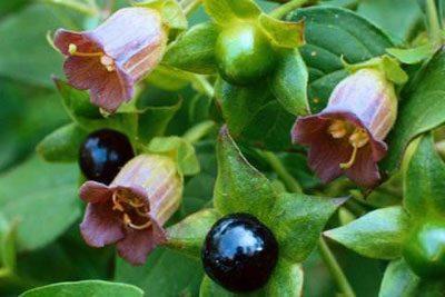 Цветы и плоды беладонны