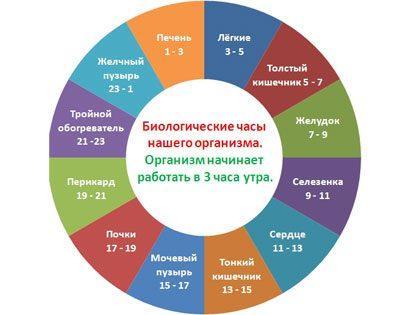 Часы работы органов человека