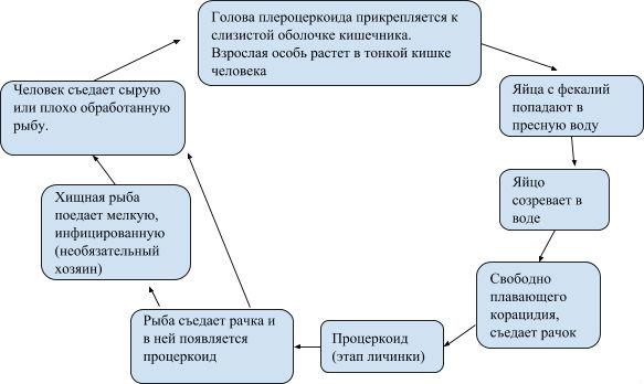 chaechnyj-lentec-zhiznennyj-cikl1.jpg