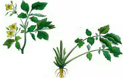 Отравление чистотелом: симптомы и лечение