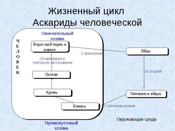 cikl-askaridy-e1482680798453.jpg