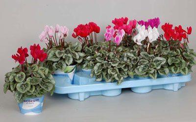 Растение цикламен персидский