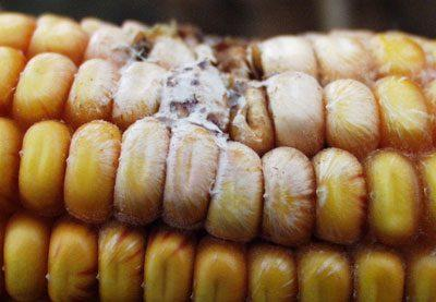 Афлатоксины в кукурузе