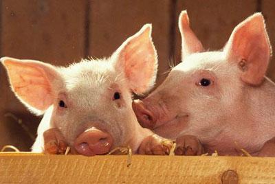 Отравление у свиней – что делать и как лечить?