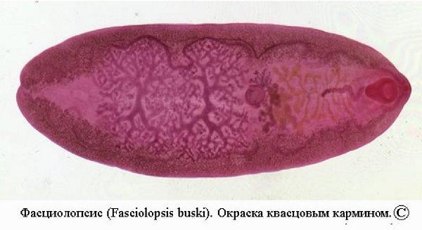 fastsiolopsis-e1506597275131.jpg