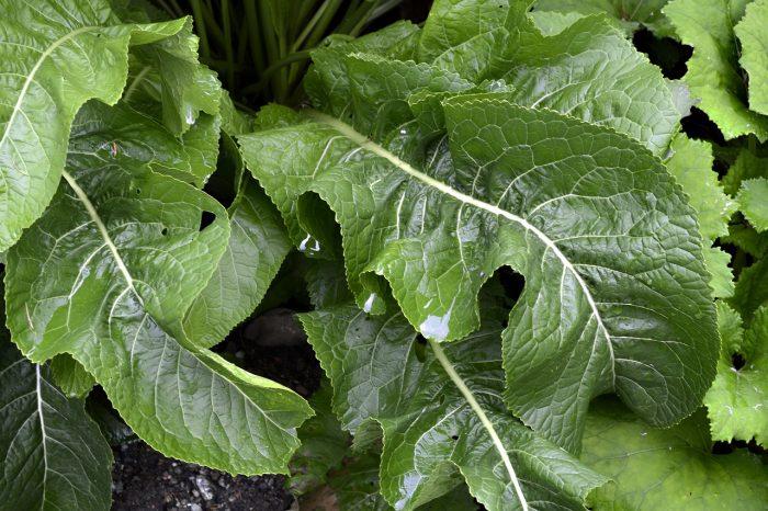 horseradish-3599860_1280-700x466.jpg