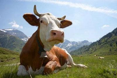 Что делать, если корова отравилась кормом