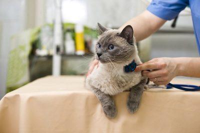 Кошка на приеме у ветеринара