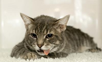 Как вызвать рвоту у кошки в домашних условиях Сайт о лечении отравления, диареи, рвоты, кишечных инфекций