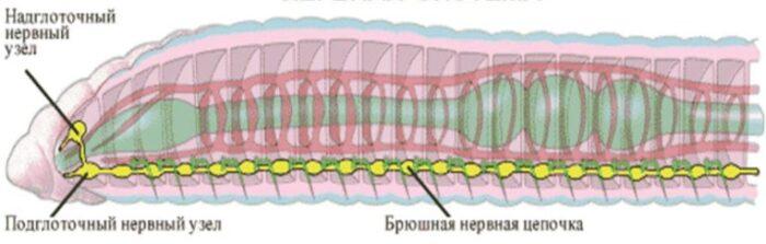 nervn-sistema-kruglih.jpg