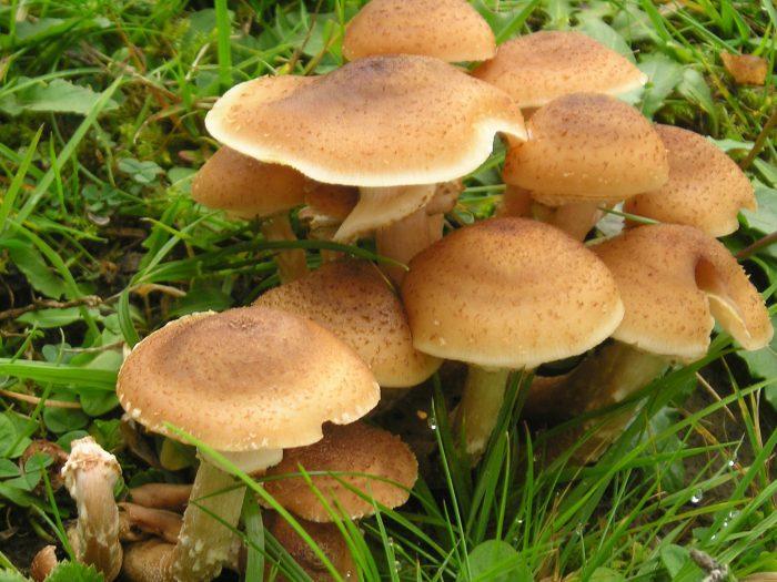 Отравление ядовитыми грибами. Патогенез, признаки ( клиника ) отравления грибами ( мухомором ). Неотложная помощь ( первая помощь ) при отравлении мухомором ( грибами ).