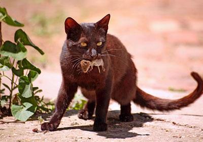 Кот съел отравленную мышь – симптомы, помощь, последствия