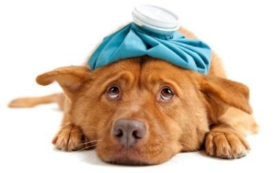 Симптомы и лечение отравления собаки изониазидом