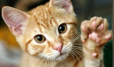 Кошка после отравления: чем ее кормить