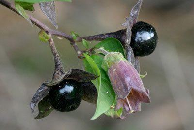 Цветок и плоды паслена