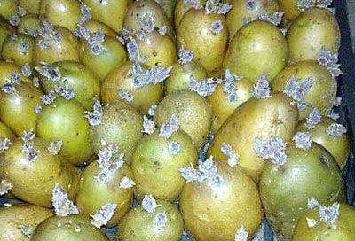 Пророщенный и позеленевший картофель