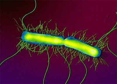 Бактерия протея