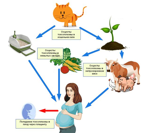 rasprostranenie-toksoplazmy.png